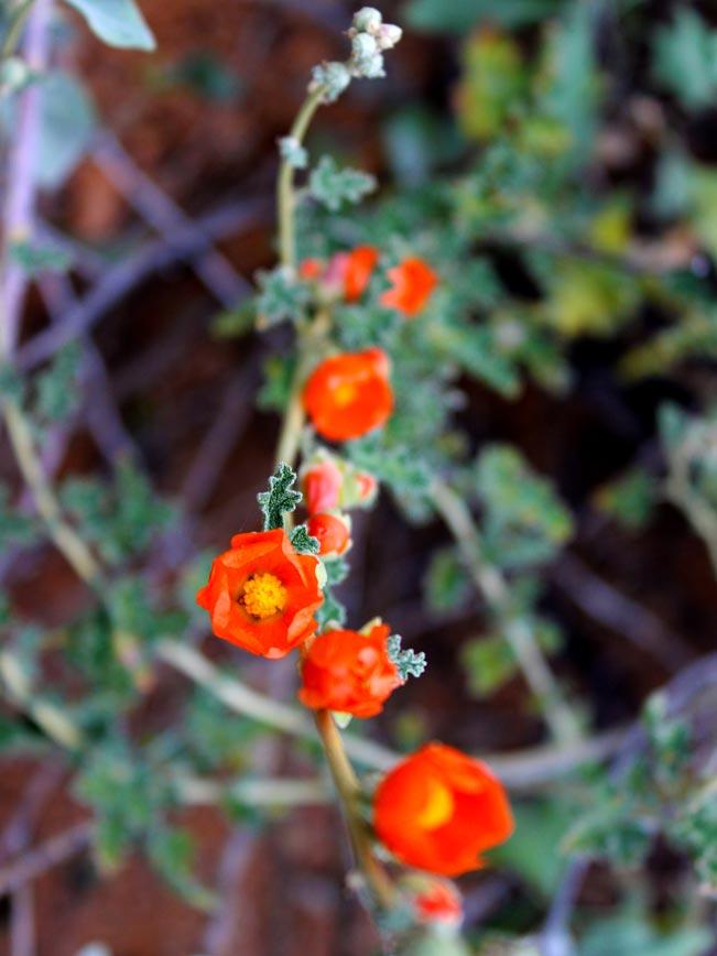 Arizona, Desert, Wildflower, Globemallow, Red flower, Desert Wildflower Season