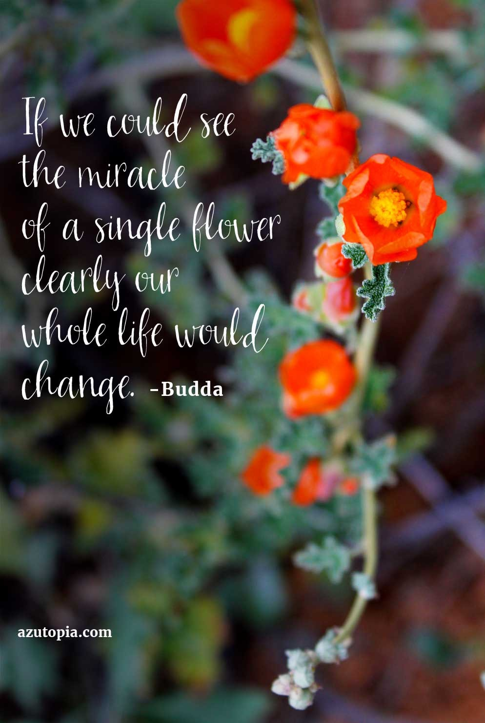 Inspiration, Desert Wildflower, Globmallow, Budda Quote, Inspiration from Budda