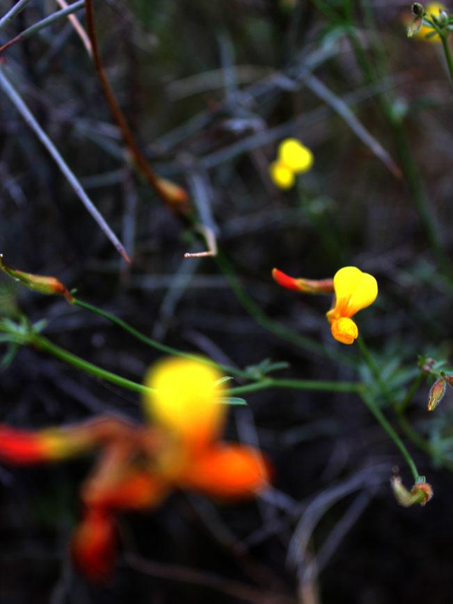 Arizona, Desert, Wildflower, Deervetch, Yellow Flower, Desert Wildflower Season
