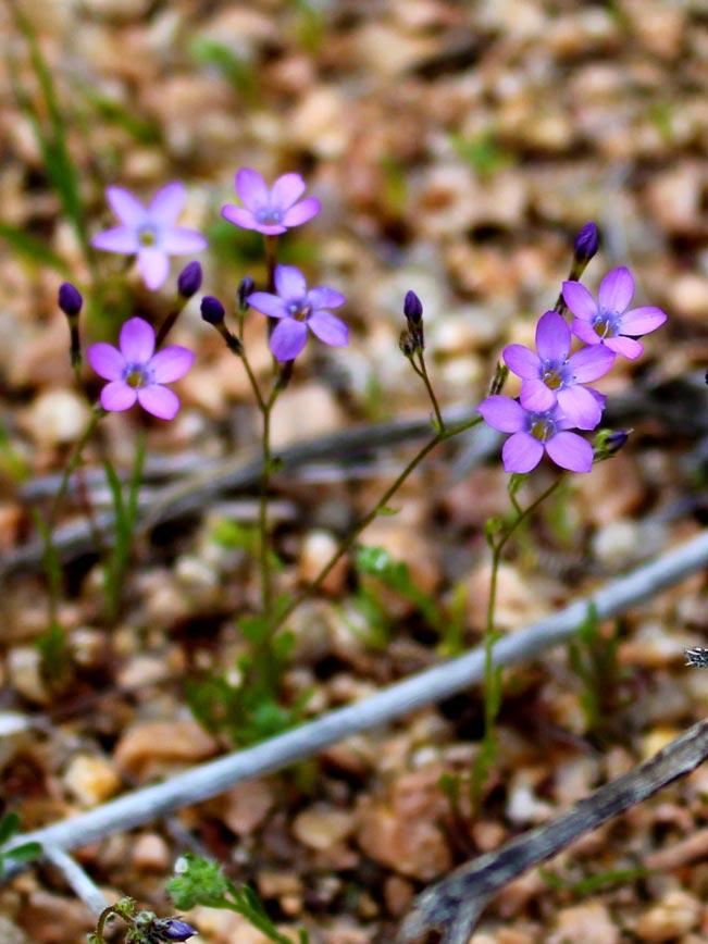 Arizona, Desert, Wildflower, Wollystar, Purple Flower, Desert Wildflower Season