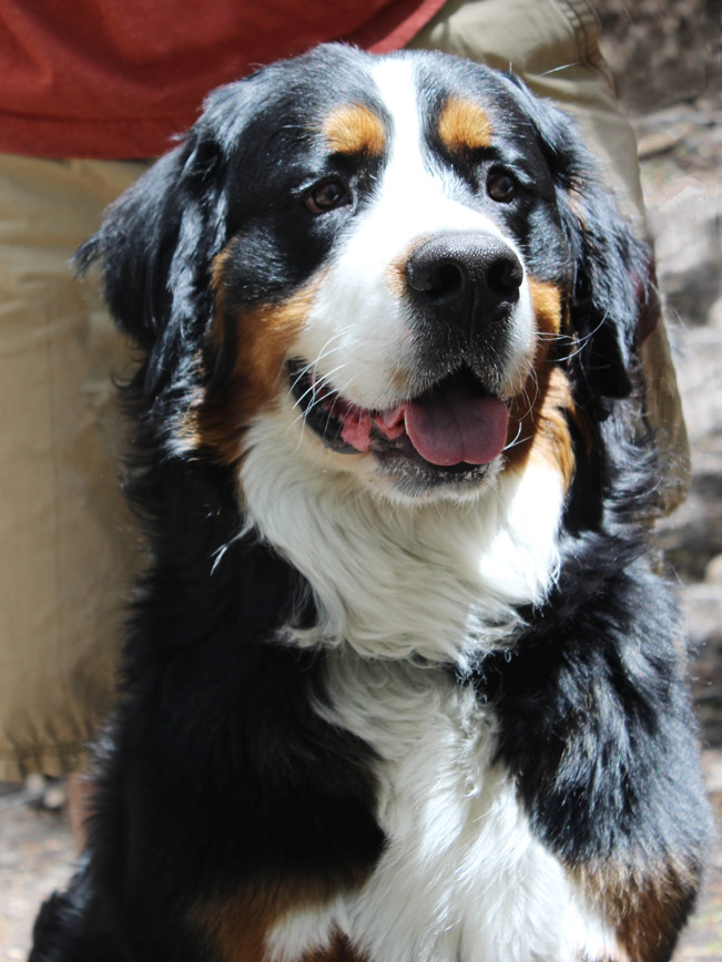 Portrait, Humphrey, Bernese Mountain Dog, Hiking Hero