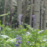 Landscape, Purple Lupine, Wild Flowers, Flagstaff, Arizona, Kachina Trail, San Francisco Mountains, Aspens, Flagstaff Area, Hiking Flagstaff AZ, Arizona Hiking Trails Flagstaff