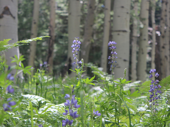 Landscape, Purple Lupine, Wild Flowers, Flagstaff, Arizona, Kachina Trail, San Francisco Mountains, Aspens