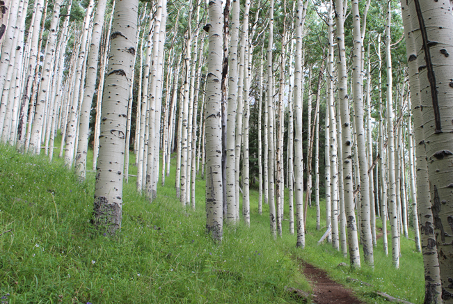 Landscape, Flagstaff, Arizona, Inner Basin Hiking Trail, San Francisco Mountains, Aspens