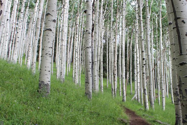 Landscape, Flagstaff, Arizona, Inner Basin Hiking Trail, San Francisco Mountains, Aspens