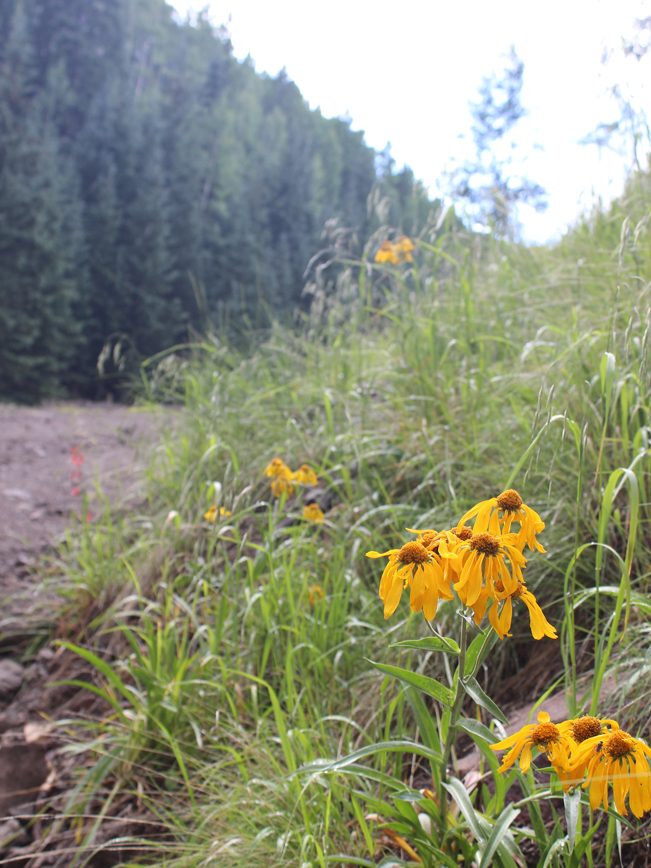Closeup, View, Wild Sunflowers, Pipeline Road, Flagstaff, Arizona, Inner Basin Hiking Trail