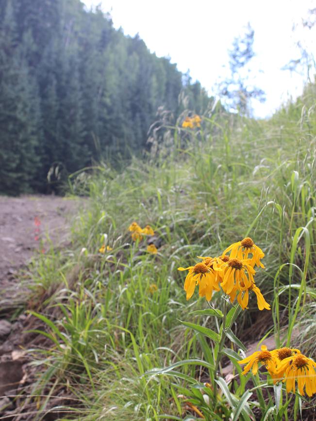 Closeup, View, Wild Sunflowers, Pipeline Road, Flagstaff, Arizona, Inner Basin Hiking Trail