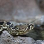 Rattlesnake_1200x900