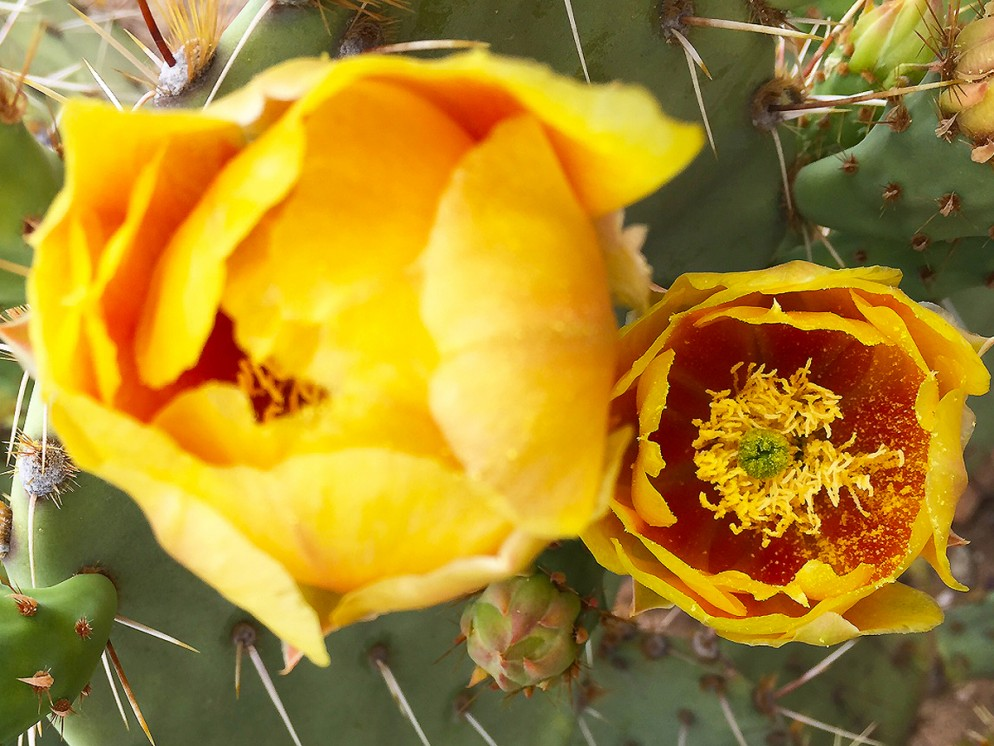A Close-up, Bright Yellow, Prickly Pear, Cacti Blossoms, Wildflowers, Arizona. Desert.