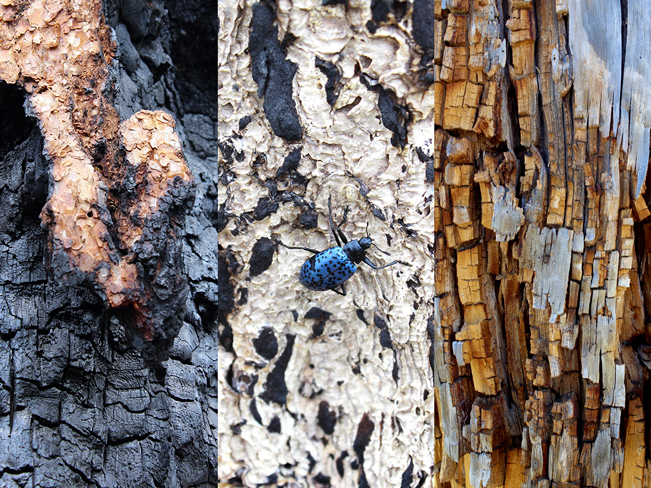 A triptych of various wood textures to be found on the Pumpkin Hiking Trail, outside of Flagstaff, Arizona, and with a bright blue beetle. Moderate Arizona hiking trails. Flagstaff area hiking trails. Copyright azutopia. No use without permission.
