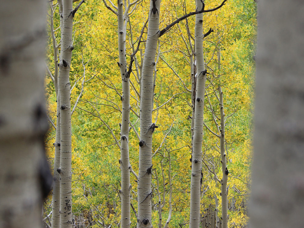 Arizona's Fall color. A landscape view of Aspens in Fall from Flagstaff, Arizona's Inner Basin Hiking Trail. Copyright azutopia. 10 Best Hikes to Experience Arizona's Fall Color. No use without prior permission.