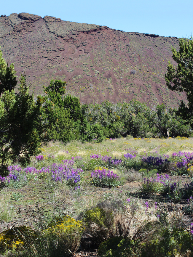 Landscape View of Strawberry Crater; north of Flagstaff; Arizona; from the Strawberry Crater Hiking Trail Loop; with flowers in the foreground. Copyright azutopia. No use without permission.