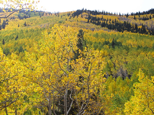 Landscape view of the fall Aspens on the slope of the San Francisco Mountains, outside of Flagstaff, Arizona, from the Inner Basin Hiking Trail. 10 Best Hikes to Experience Arizona's Fall Color. Copyright azutopia. No use without permission.