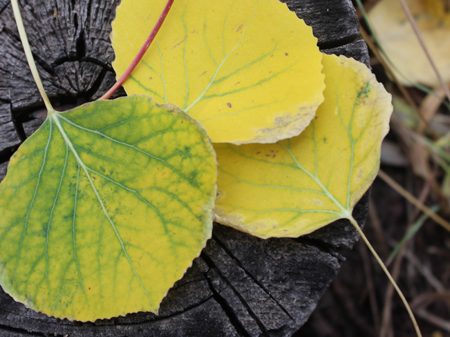 A close up view of gold and green Aspen leaves on a tree trunk. Taken on the Kachina Hiking Trail in the San Francisco Mountains outside of Flagstaff, Arizona. 10 Best Hikes to Experience Arizona's Fall Color.Copyright azutopia. No use without permission.
