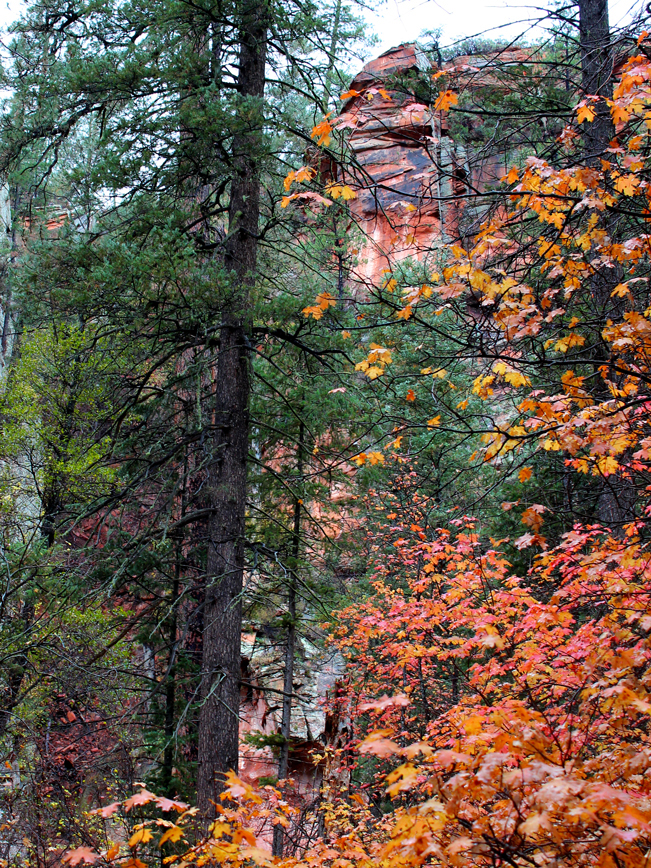 Lanscape view of the canyon walls and maple leaves in Fall color from the West Fork Hiking Trail outside of Sedona, Arizona. 10 Best Hikes to Experience Arizona's Fall Color. Copyright azutopia. No use without permission.