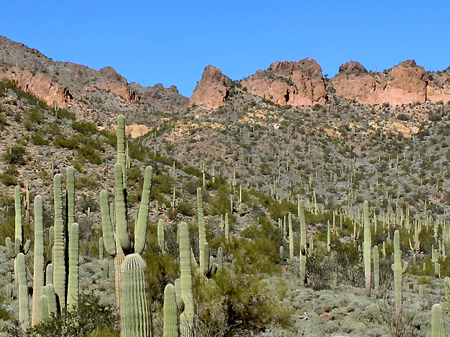 A landscape view of the cliffs of Usery Park's Pass Mountain pass, with fields of Saguaros in the foreground. From the Pass Mountain Hiking Trail Loop near Mesa, Arizona. Phoenix area hiking trails. Moderate hiking trails. Copyright azutopia. No use without permission.