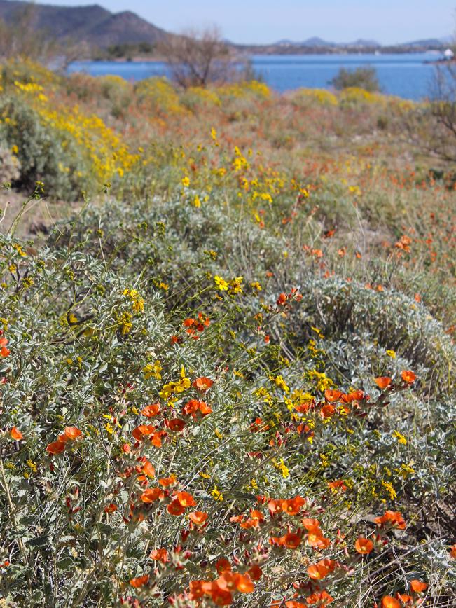 Wild Burro Hiking Trail; Wild Flowers; Globemallow; Brittlebush; Lake Pleasant; Phoenix; Arizona; Phoenix Area Hikes; Easy Hikes; Views; Lake; Copyright azutopia.com; No use without permission