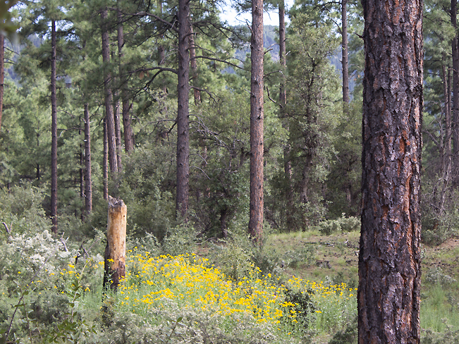 Ponderosa Pines and yellow wildflowers on the Groom Creek Hiking Trail; Prescott; Arizona; Prescott National Forest; Spruce Mountain; Moderate Hiking Trails; Pet Friendly Hiking Trails. Copyright azutopia.com. No use without permission.