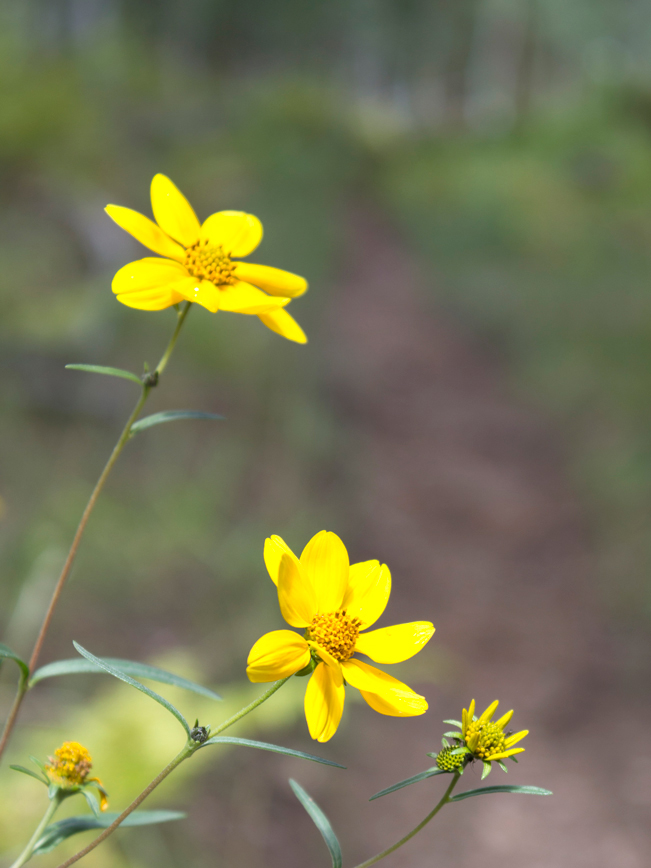 Yellow Wildflowers; Widforss Hiking Trail; Grand Canyon; Arizona; North Rim; Easy Hiking Trails; Family Friendly Hiking Trails; Copyright azutopia.com; No use without permission