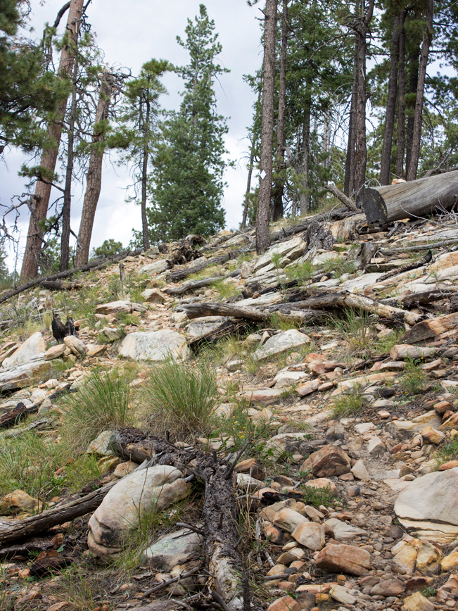 See Canyon Hiking Trail; Payson; Arizona; Mogollon Rim; Trail; Rocks; Moderate Hiking Trails; Pet Friendly HIking Trails; Central Arizona; Pine Trees; Copyright azutopia.com; No use without permission.