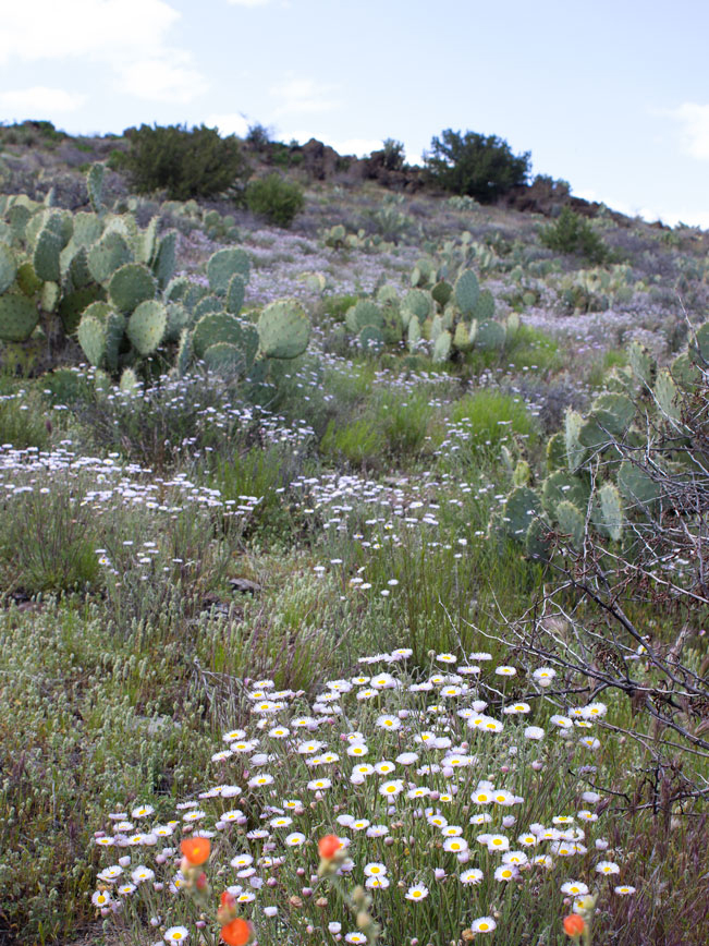Landscape view; Blue Sky; Clouds; Rolling Hills; Wildflowers; Globemallow; Daisies; Prickly Pear; Scrub; Prairie; Black Canyon Hiking Trail; Mayer; Central Arizona; Drinking Snake Trail Segment; Easy Hiking Trails. Copyright azutopia.com. No use without permission.