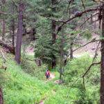 Hiker on the Schultz Creek Hiking Trail; Pathway, along Schultz Creek Road, Flowers, tall grass and Ponderosa Pines; Dry Lake Hills; Flagstaff; Arizona; Easy to Moderate Hiking Trails; Dog Friendly Hiking Trails; Northern Arizona Hiking Trails; Copyright azutopia.com; No use without permission.